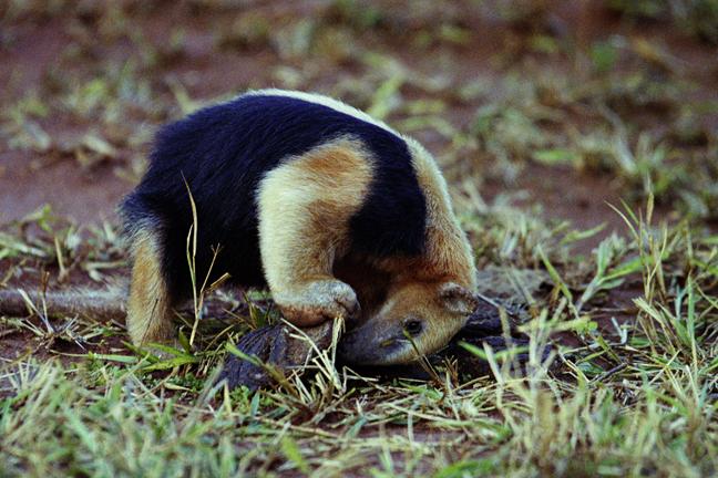 Southern Tamandua amandua tetradactyla